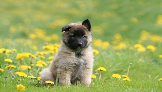 Pastore belga cucciolo e carattere for Arredamento pastore