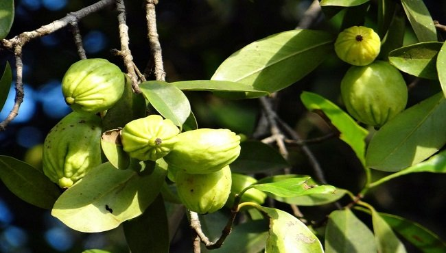 Garcinia cambogia: proprietà, benefici e dove si acquista